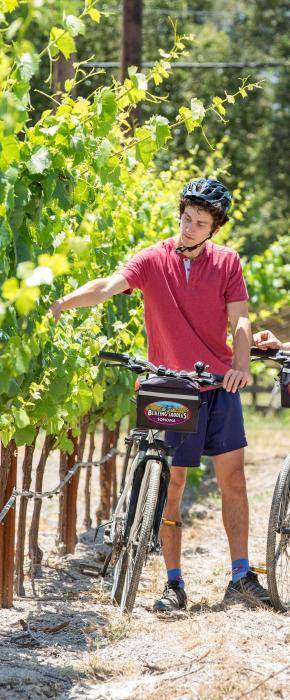 Biking through the vineyards in Sonoma County and examaning the vines and grapes